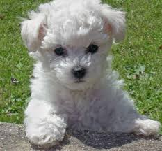 http://www.ehow.com/how_4499689_feed-bichon-frise.html