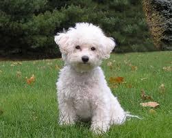 http://www.pedigreedatabase.com/dogs/bichon_frise/breedinfo.html