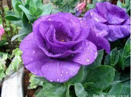 http://blog.timnhanh.com/midoriharry/comment/hoa-hong-tim.35AAAF4B.html