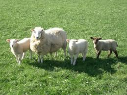 http://www.animalspapper.com/wallpaper/Sheep-1/