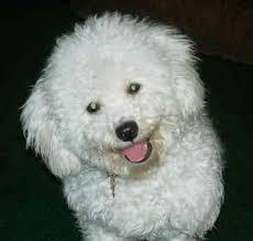 http://www.gotpetsonline.com/pictures/gallery/dogs/alphabetically/bichon-frises/bichon-frise-0328/