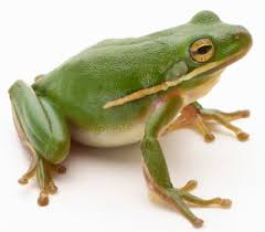 http://animals.howstuffworks.com/amphibians/frog.htm
