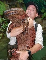 external image BB-Japanese-Giant-Salamander.jpg&h=94&w=73&usg=__YL9GL28yEU2EzwolSnJ8S_sNcIk=