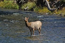 http://outdoorvideopro.com/creature-feature/slides/Doe%20Elk%20in%20Madison%20River.html