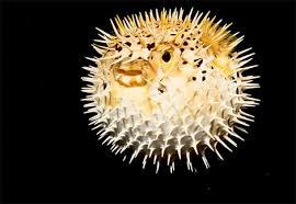 http://animals.nationalgeographic.com/animals/fish/pufferfish.html