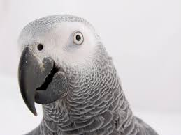African Grey TAG's & CAG'S