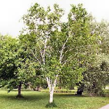 http://www.google.com/images?q=tbn:nM9agr9omoPipM::www.la-pepiniere-thuir.com/bouleau.jpg