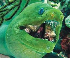 Moray Eel  Google Images