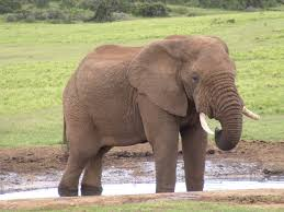 http://mirror-us-ga1.gallery.hd.org/_c/natural-science/_more2005/_more03/elephant-African-savannah-drinking-in-waterhole-water-hole-in-Addo-Elephant-Park-Eastern-Cape-South-Africa-1-JR.jpg.xhtml?sessionVar=spider&sessionVarLocale=es